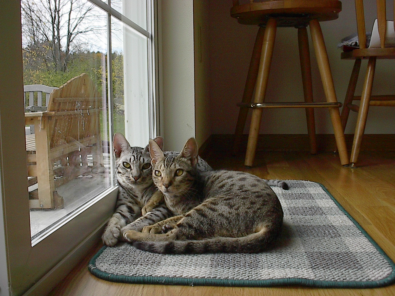 Charming Ocicat cats wallpaper