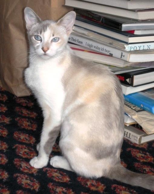 Короткошерстный Колор-поинт и книги фото