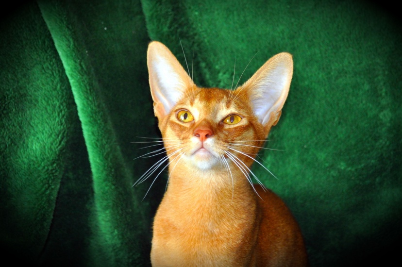 Abyssinian cat green wallpaper