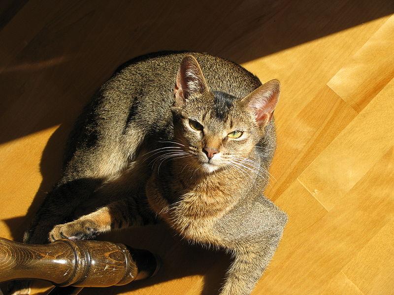 Abyssinian cat on the floor wallpaper