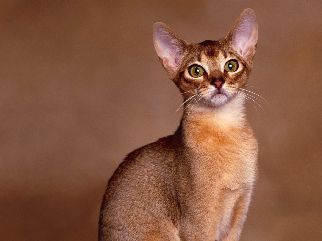 Abyssinian cat portrait wallpaper