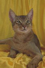 Абиссинская кошка на желтом фоне