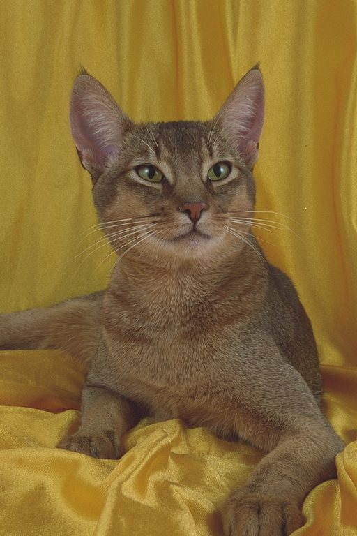 Abyssinian cat yellow wallpaper