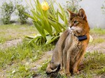 Abyssinian in the nature