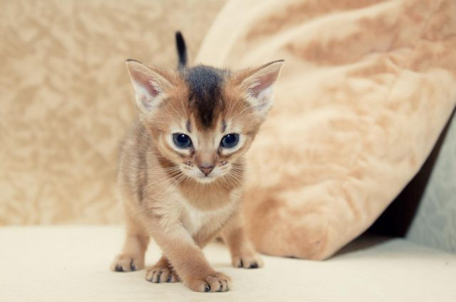 Котенок Абиссинской кошки фото