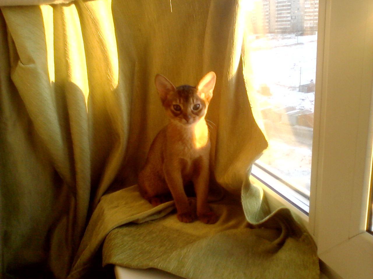 Абиссинская кошка возле окна фото