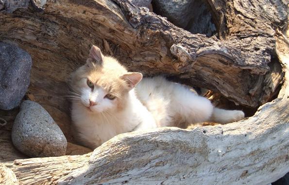 Эгейский кот отдыхает фото