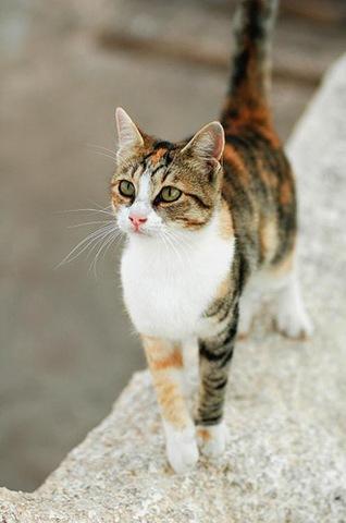 Эгейский кот гуляет фото