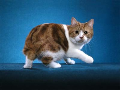 Настороженный кот Манкс фото