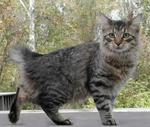 American Bobtail for a walk