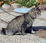 American Bobtail in the outdoors