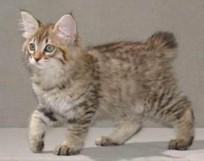 Котенок Американского Бобтейла фото