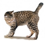 American Bobtail looking away