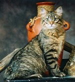 American Bobtail portrait
