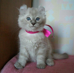American Curl in a pink collar