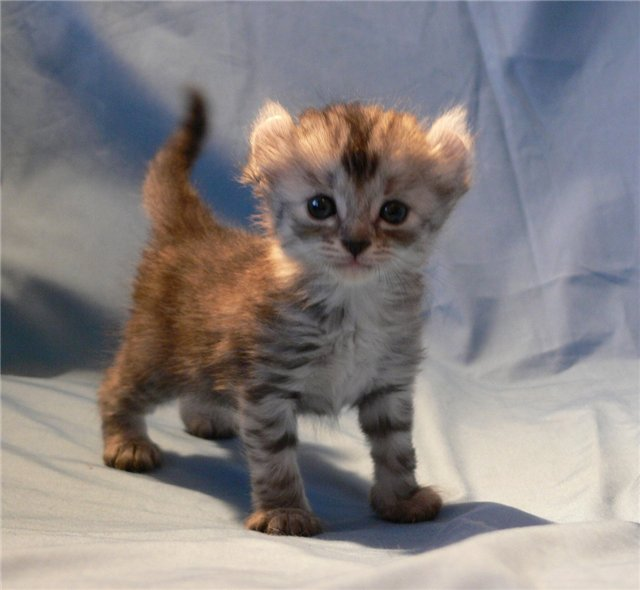 G And G Pixie Bob American Curl kitten p...