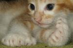 American Polydactyl kitten