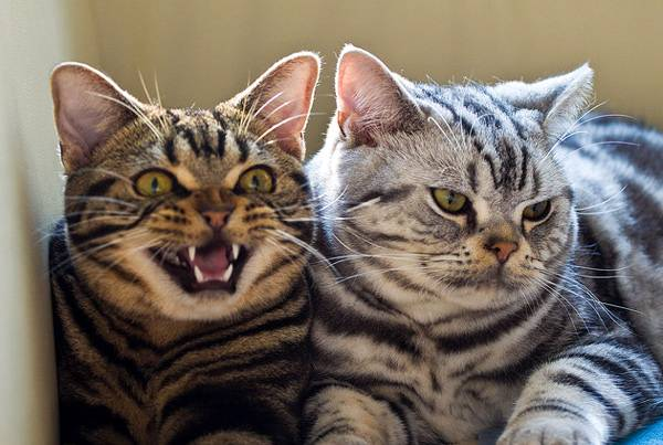 American Shorthair cats wallpaper