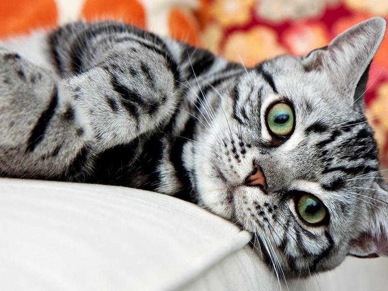 Морда Американской короткошерстной кошки фото