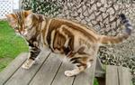 American Shorthair in the nature