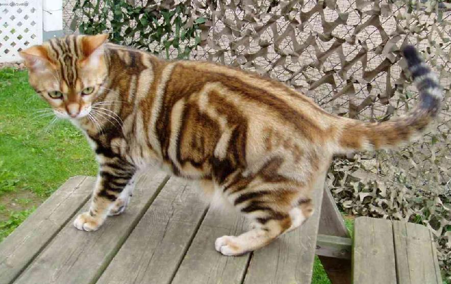 Американская короткошерстная кошка на природе фото