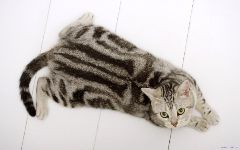 Американская короткошерстная кошка на полу фото