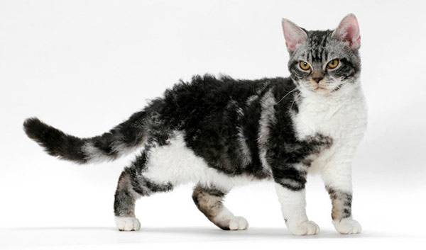Котенок Американской жесткошерстной кошки фото