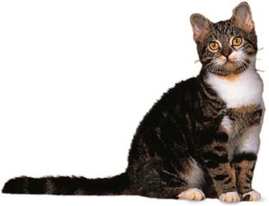 Котенок Американской жесткошерстной кошки сидит фото