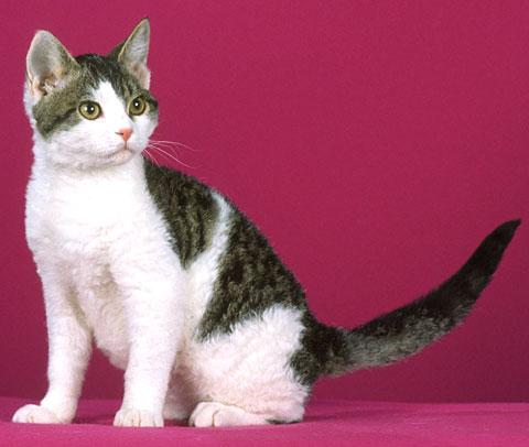 American Wirehair red wallpaper