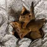 Arabian Mau kittens