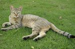 Arabian Mau on the lawn