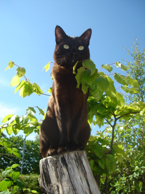 Азиатская кошка на дереве фото