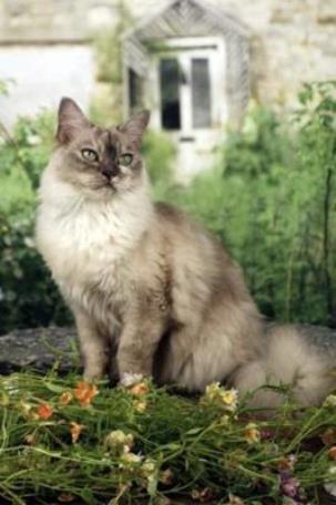 Азиатская полудлинная кошка на отдыхе фото