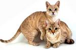 Australian Mist cats portrait