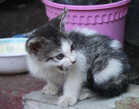 Котенок Австралийского миста  фото