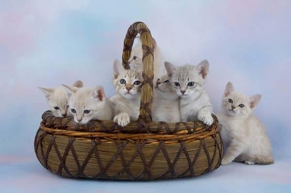 Котята Австралийского миста в корзине фото