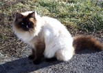 Balinese cat in the nature
