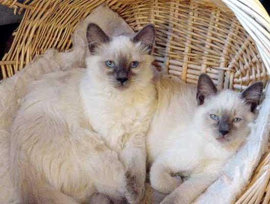 Balinese cats in basket wallpaper