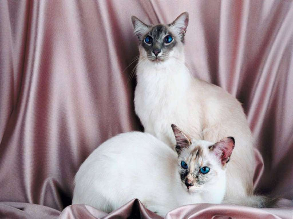 Balinese cats portrait wallpaper