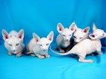 Bambino kittens