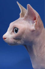 Бамбино кот вид сбоку