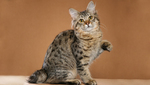 Beautiful American Bobtail