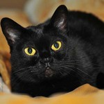 Beautiful Bombay cat