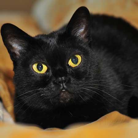 Красивая Бомбейская кошка фото
