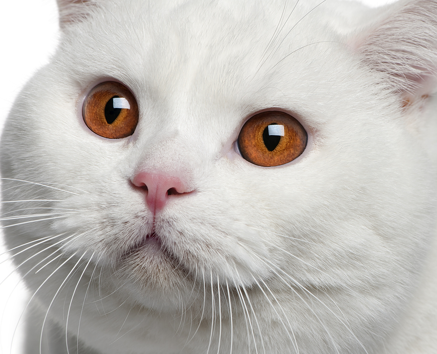 Beautiful British Shorthair  wallpaper