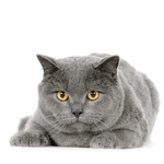 Beautiful Chartreux