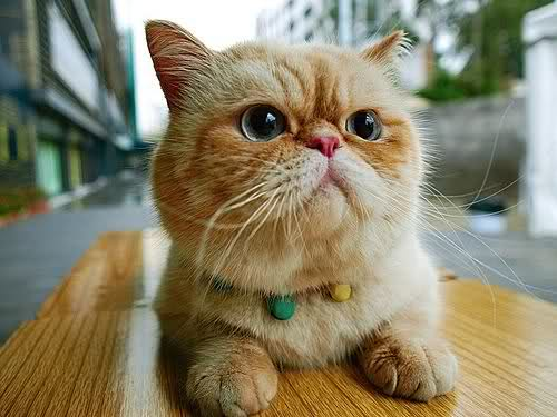 Beautiful Exotic Shorthair  wallpaper