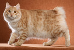 Beautiful Kurilian Bobtail