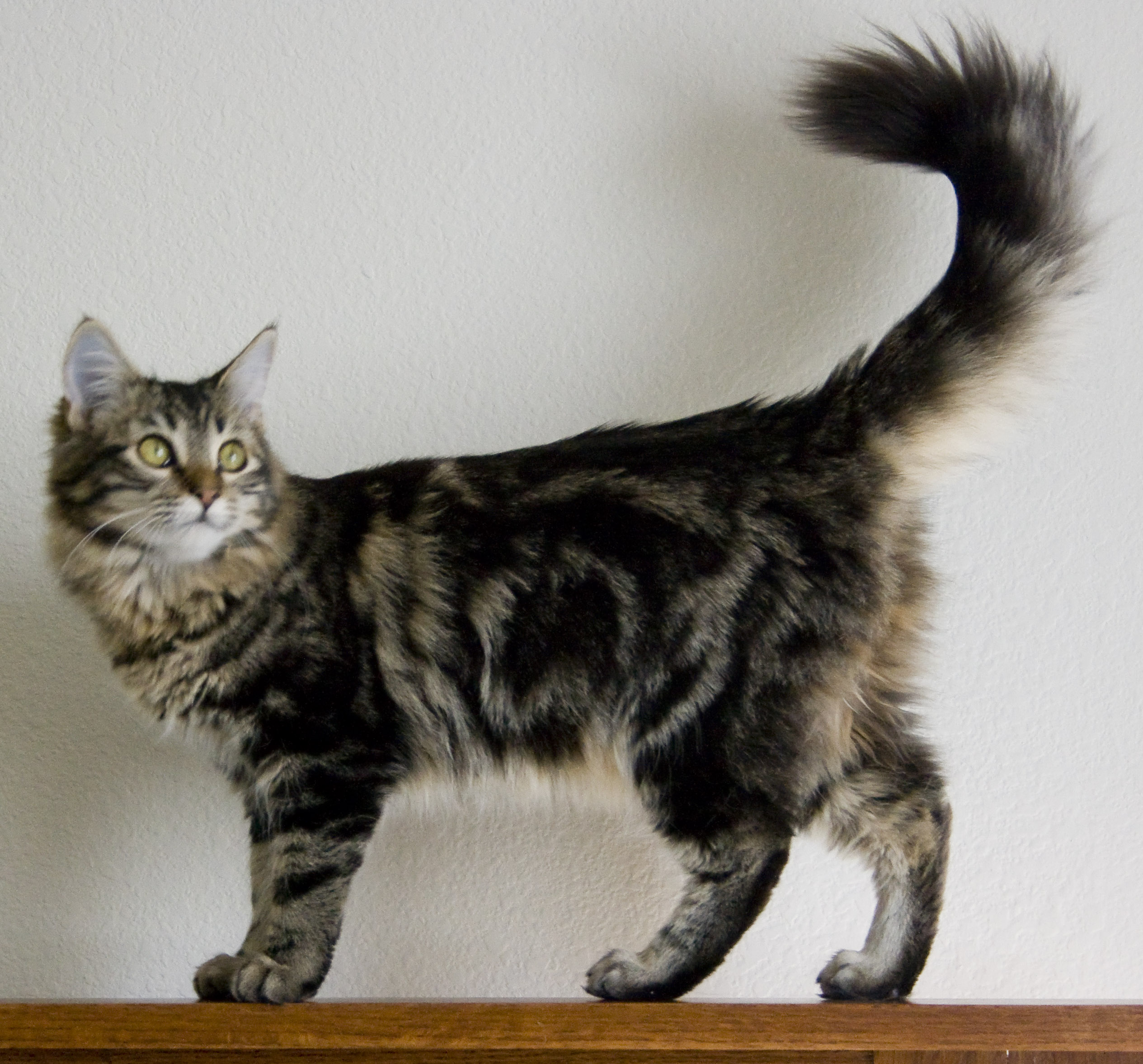 Beautiful Maine Coon  wallpaper