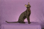 Beautiful Oriental Shorthair